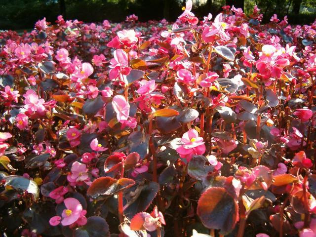 rośliny zwisające, rośliny wytrzymałe, rośliny odporne, kwiaty do ogrodu, rośliny dla początkujących, kwiaty balkonowe, kwiaty na balkon