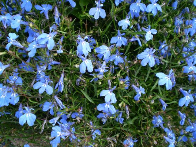 kwiaty do ogrodu, rośliny dla początkujących, kwiaty balkonowe, kwiaty na balkon, rośliny zwisające, rośliny wytrzymałe, rośliny odporne