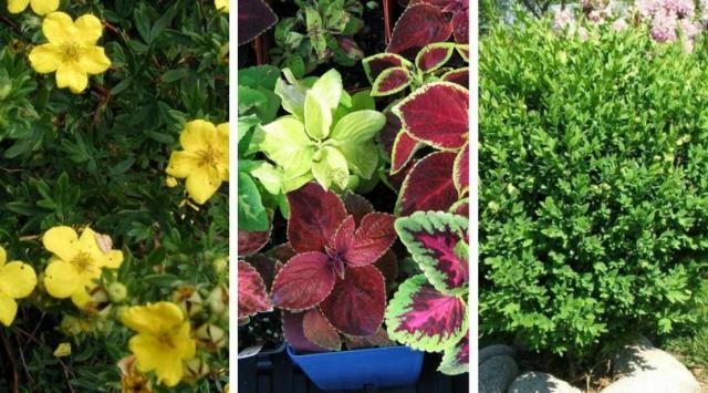 6  najlepszych roślin na balkon, które są odporne na mrozy i wysokie temperatury