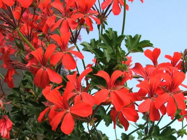 kwiaty na balkon, rośliny zwisające, rośliny wytrzymałe, rośliny odporne, kwiaty zwisające na balkon, kwiaty balkonowe
