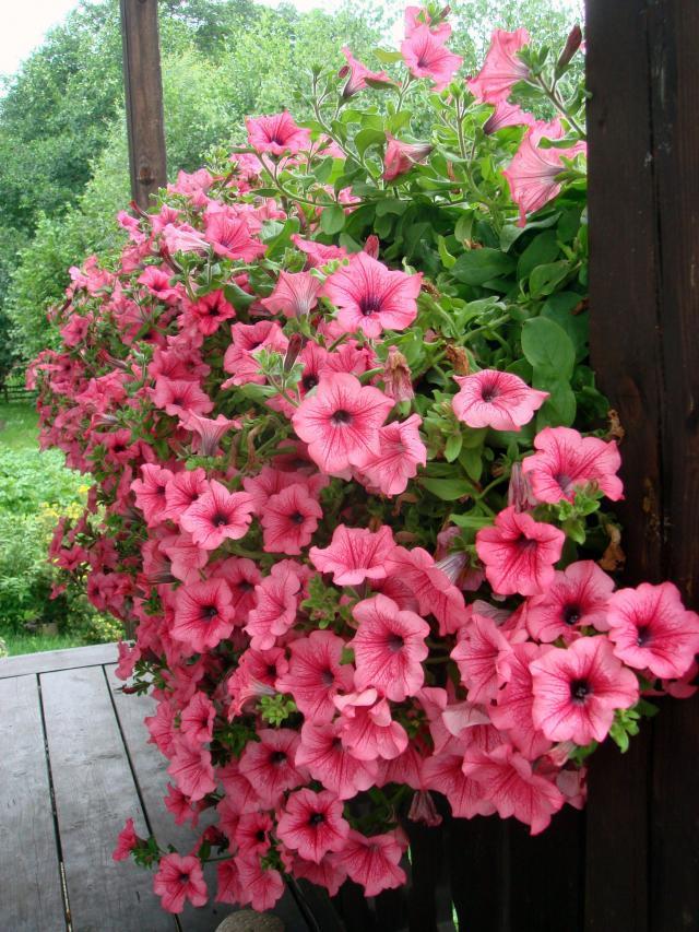 rośliny zwisające, rośliny wytrzymałe, rośliny odporne, kwiaty zwisające na balkon, kwiaty balkonowe, kwiaty na balkon