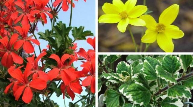 8 propozycji na kwiaty balkonowe zwisające. Stwórz bajeczny ogród na swoim balkonie