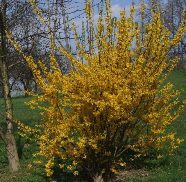 krzewy ozdobne, krzewy kwitnące, krzewy liściaste, krzewy do ogrodu, ogród, rośliny, krzewy łatwe w uprawie
