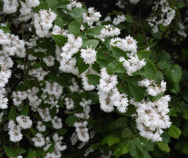 krzewy kwitnące, krzewy liściaste, krzewy do ogrodu, ogród, rośliny, krzewy łatwe w uprawie, krzewy ozdobne