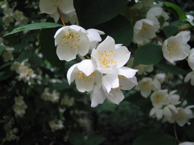 krzewy liściaste, krzewy do ogrodu, ogród, rośliny, krzewy łatwe w uprawie, krzewy ozdobne, krzewy kwitnące