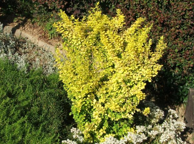 ogród, rośliny, krzewy łatwe w uprawie, krzewy ozdobne, krzewy kwitnące, krzewy liściaste, krzewy do ogrodu