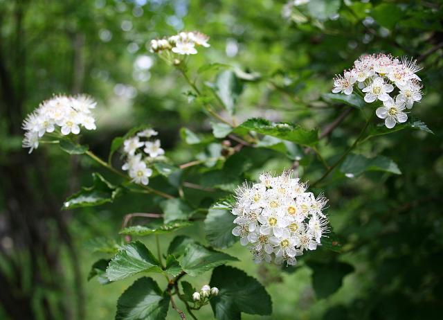 rośliny, krzewy łatwe w uprawie, krzewy ozdobne, krzewy kwitnące, krzewy liściaste, krzewy do ogrodu, ogród