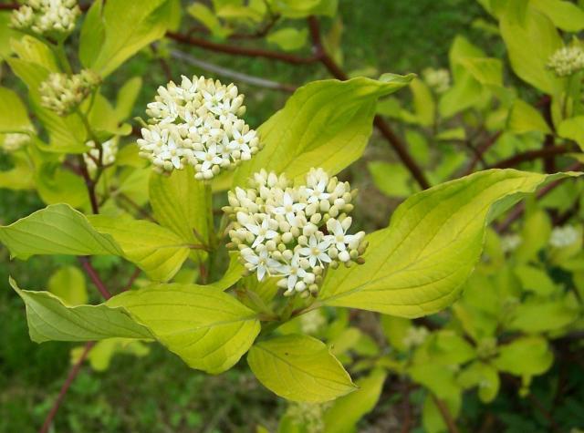 krzewy łatwe w uprawie, krzewy ozdobne, krzewy kwitnące, krzewy liściaste, krzewy do ogrodu, ogród, rośliny