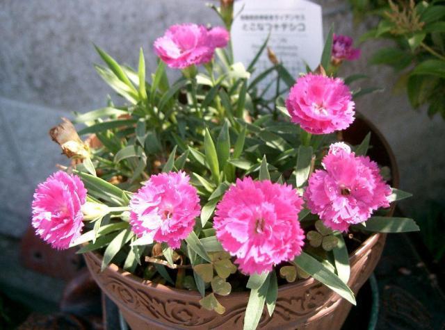 rośliny jednoroczne z siewu, rośliny na balkon, kwiaty balkonowe, rośliny jednoroczne, rośliny jednoroczne z rozsady