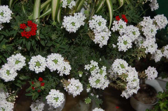 kwiaty balkonowe, rośliny jednoroczne, rośliny jednoroczne z rozsady, rośliny jednoroczne z siewu, rośliny na balkon