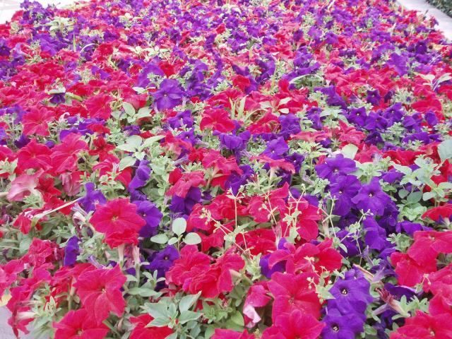 rośliny jednoroczne, rośliny jednoroczne z rozsady, rośliny jednoroczne z siewu, rośliny na balkon, kwiaty balkonowe