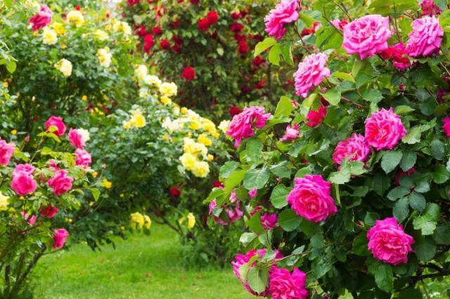 Cięcie róż jesienią – kiedy i jak przeprowadzać?