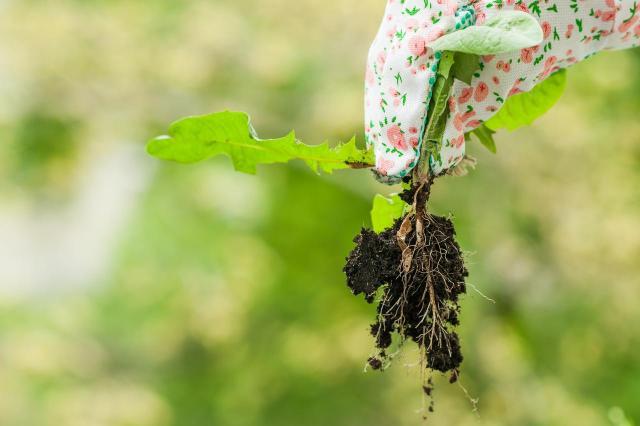 Chwasty w ogrodzie - lepiej nie pozwól, aby u Ciebie wyrosły!