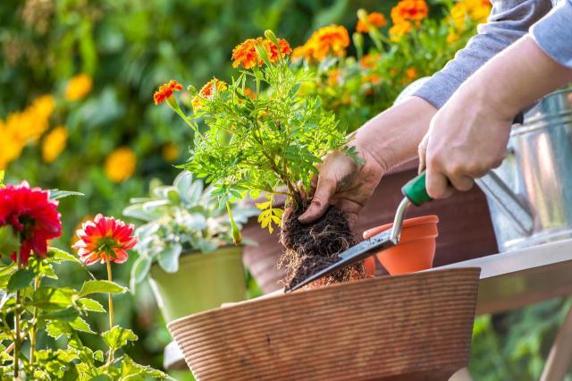 Na uprawę tych ogrodowych kwiatów poświęcisz tylko kilka minut rocznie