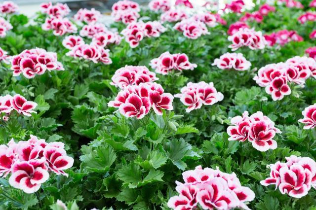 kwiaty ogrodowe, komary, kwiaty do ogrodu