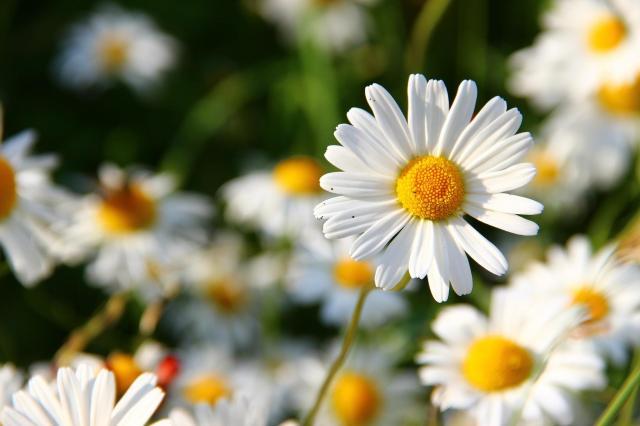 10 kwiatów ogrodowych, których utrzymanie kosztuje grosze