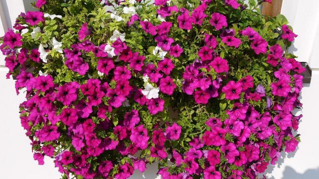 kwiaty ogrodowe, rabata kwiatowa, kwiaty do ogrodu