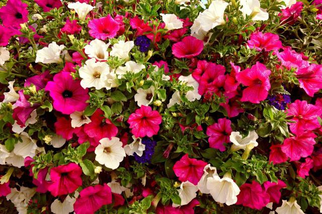 rabata kwiatowa, kwiaty do ogrodu, kwiaty ogrodowe