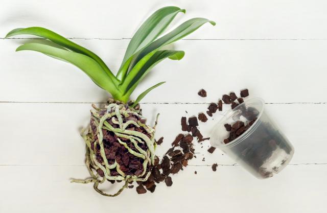 storczyki, uprawa storczyków, artykul sponsorowany