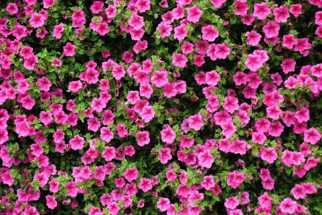 rośliny ogrodowe, kwiaty do ogrodu, kwiaty ogrodowe, rośliny do ogrodu